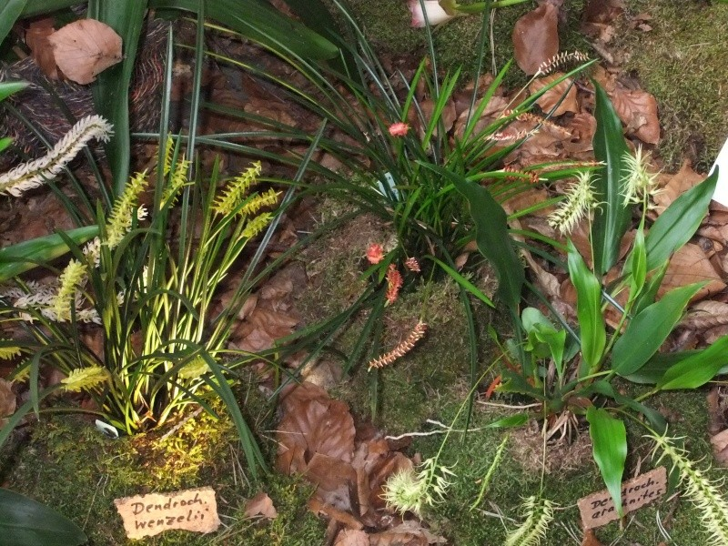 Orchideen-Ausstellungen aus aller Welt - Seite 2 Dscf9177