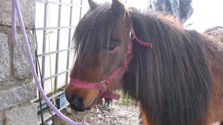 JACADI - ONC poney tyé Shetland né en 1999 - adopté en octobre 2008 par Nat 134