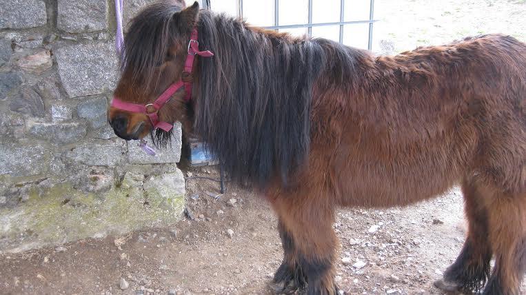 JACADI - ONC poney tyé Shetland né en 1999 - adopté en octobre 2008 par Nat 630