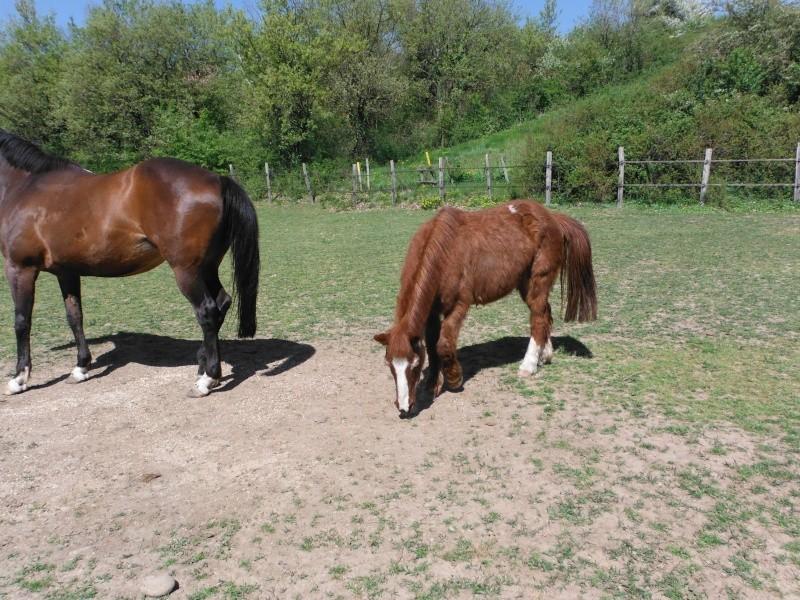 BANQUISE - ONC poney présumée née en 1984 - adoptée en novembre 2009 par Istorienne  Dscf2529
