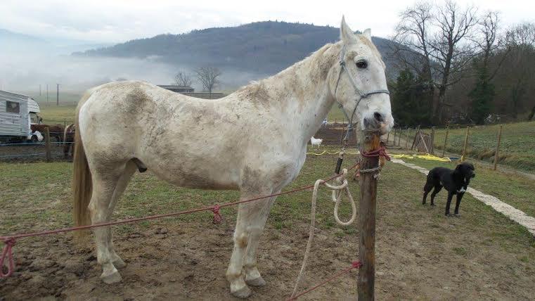 QUIKLY - Lippizan né en 2004 - adopté en mai 2011 par doucette  Quikly10