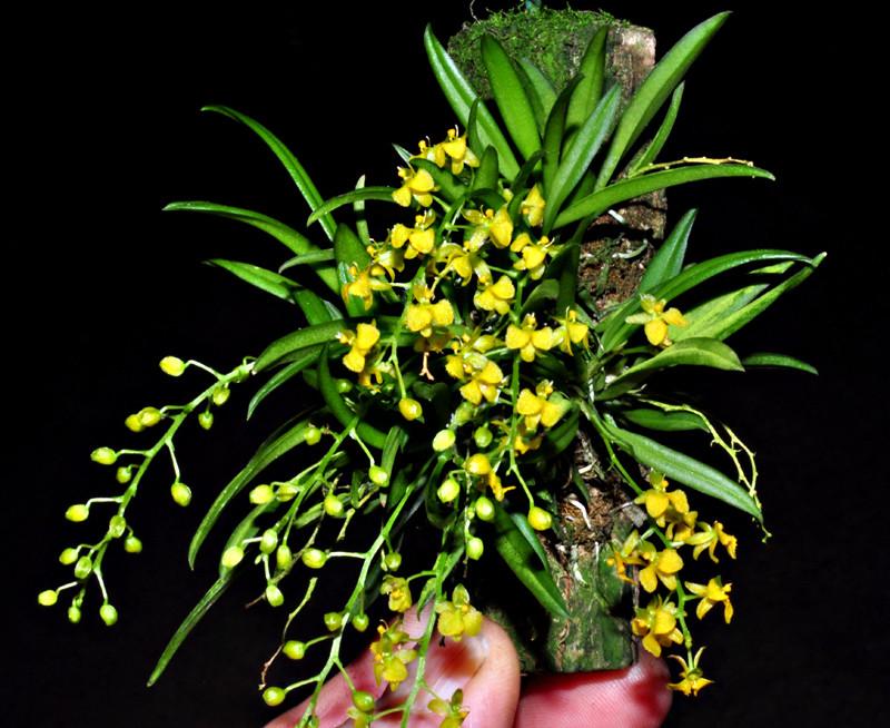 Dipteranthus planifolius Dipter10