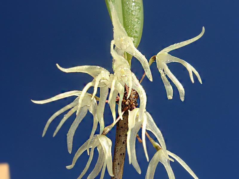 Myoxanthus punctatus Myoxan14
