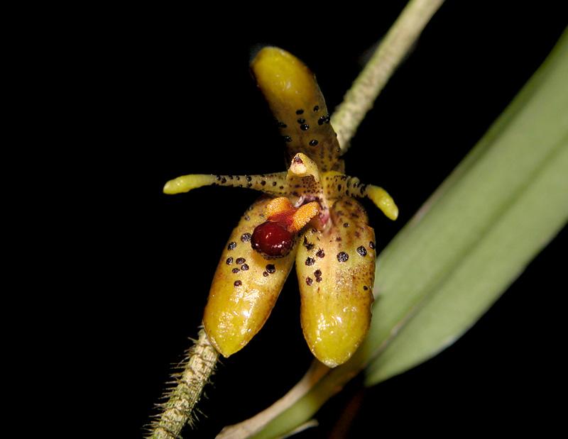 Myoxanthus punctatus Myoxan15