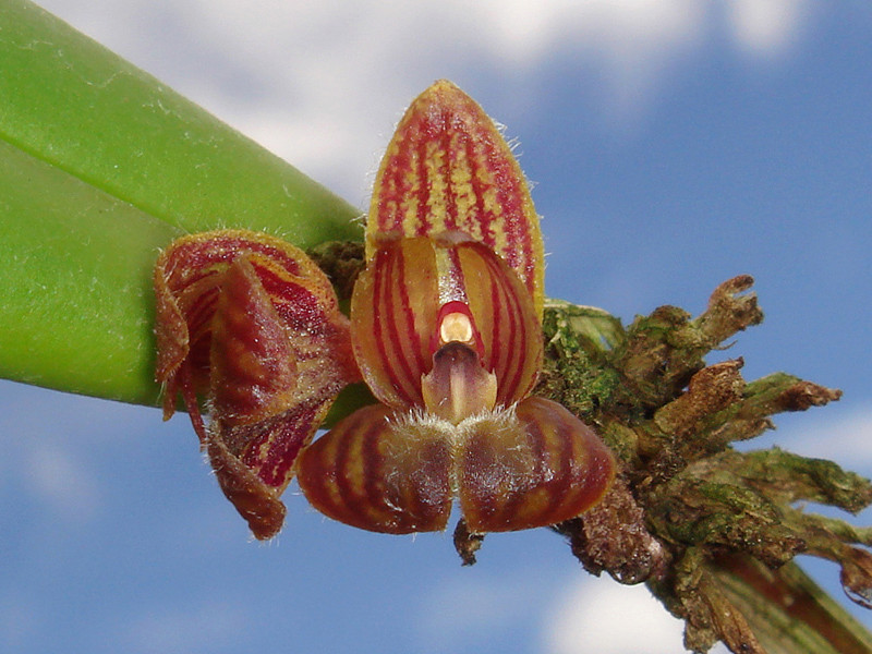 Myoxanthus punctatus Myoxan16