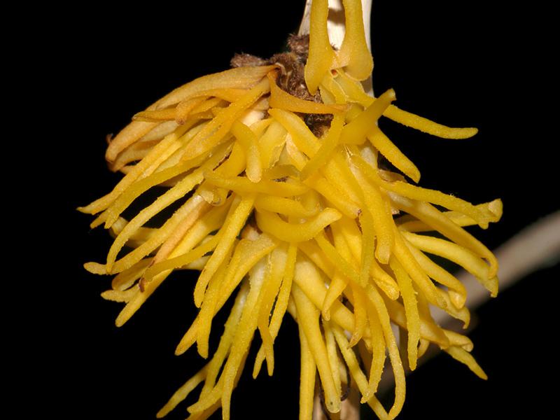 Myoxanthus punctatus Myoxan18