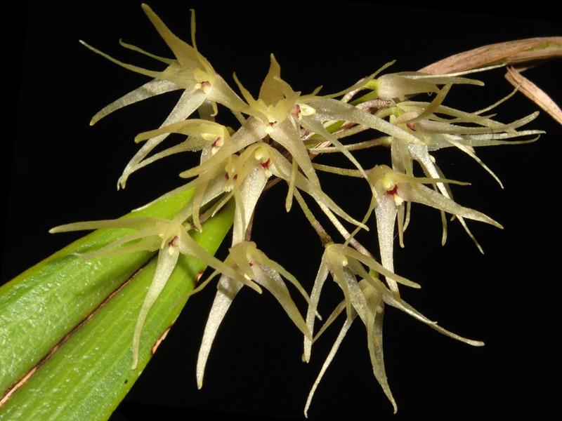 Myoxanthus punctatus Myoxan19