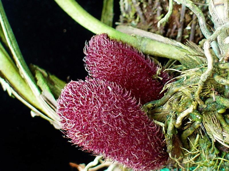 Myoxanthus punctatus Myoxan21