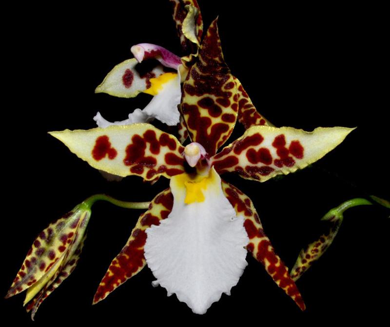 Lemboglossum rossii Rossix10