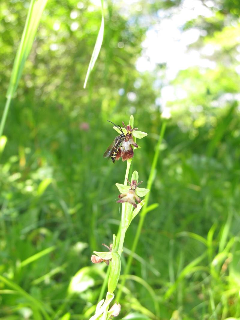 Argogorytes mystaceus avec O.insectifera Img_4815