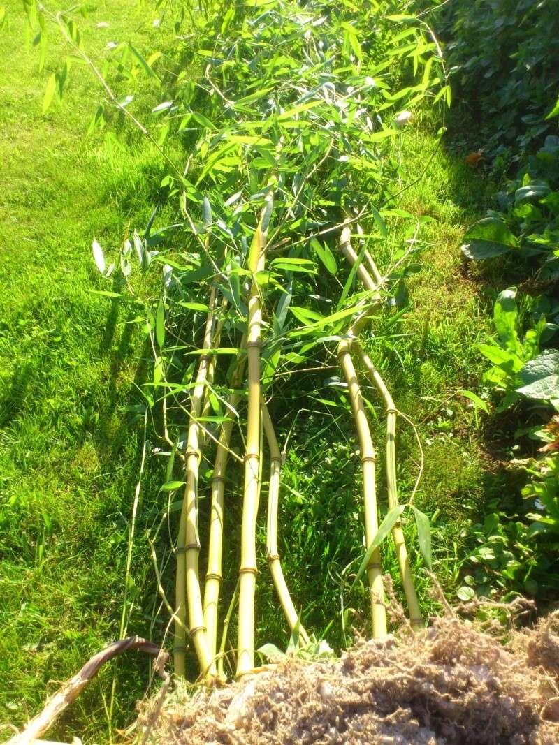 Quelle variete de bambou avez vous ? Dsc_0010