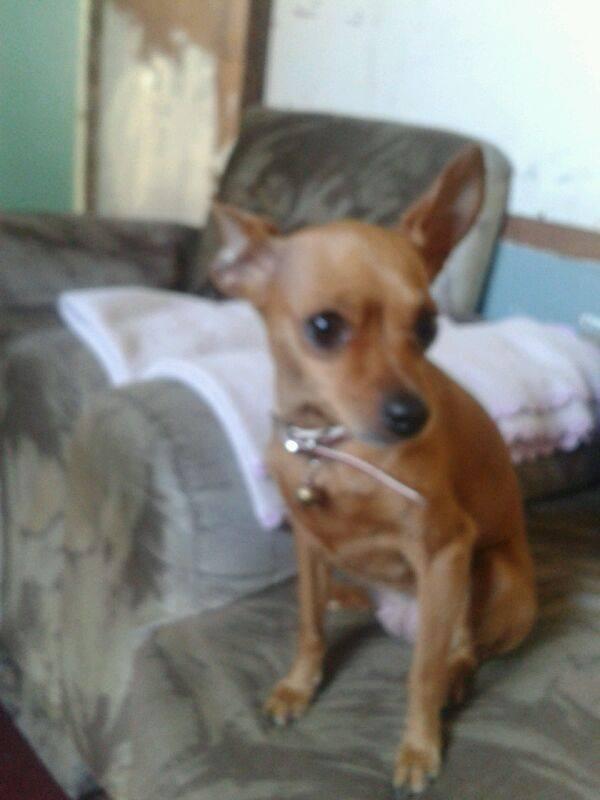 Boronita, chihuahua perdida en parque de la paz 16901010