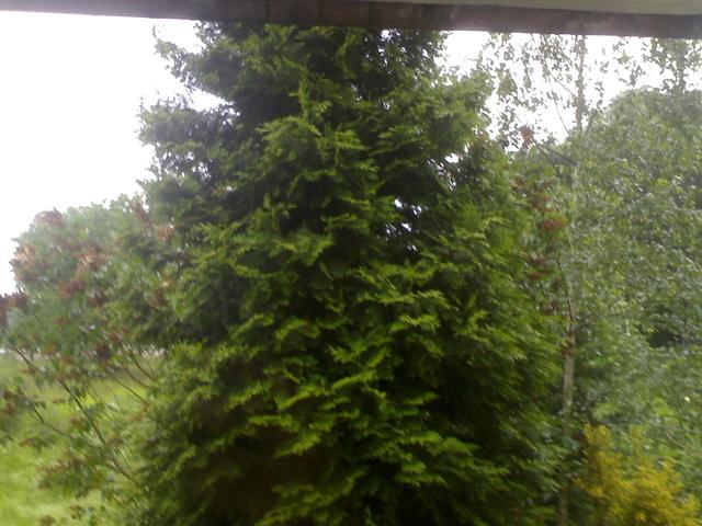 Die Tannen vor meinem Balkon mussten überraschend sterben 02062010