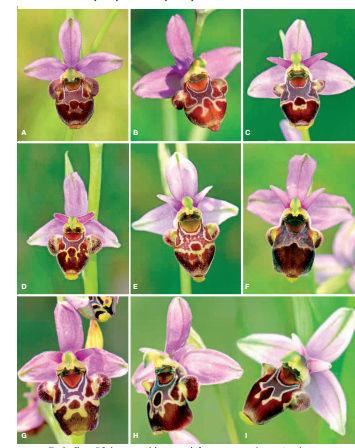 Description d'un nouvel Ophrys Captur10