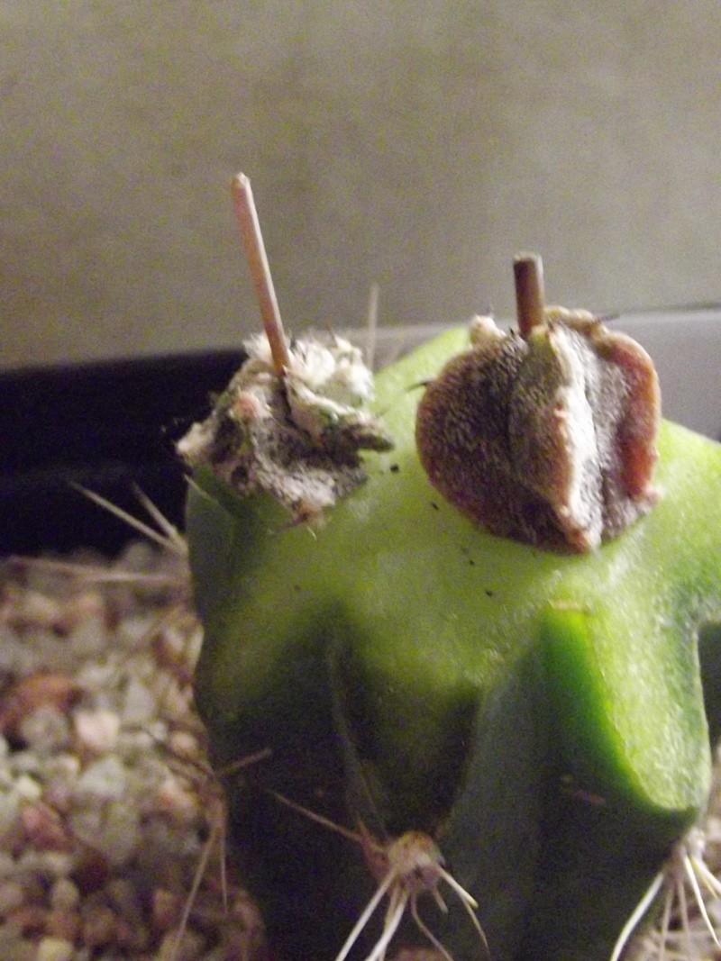 Greffes d'Astrophytums Xxx_0013