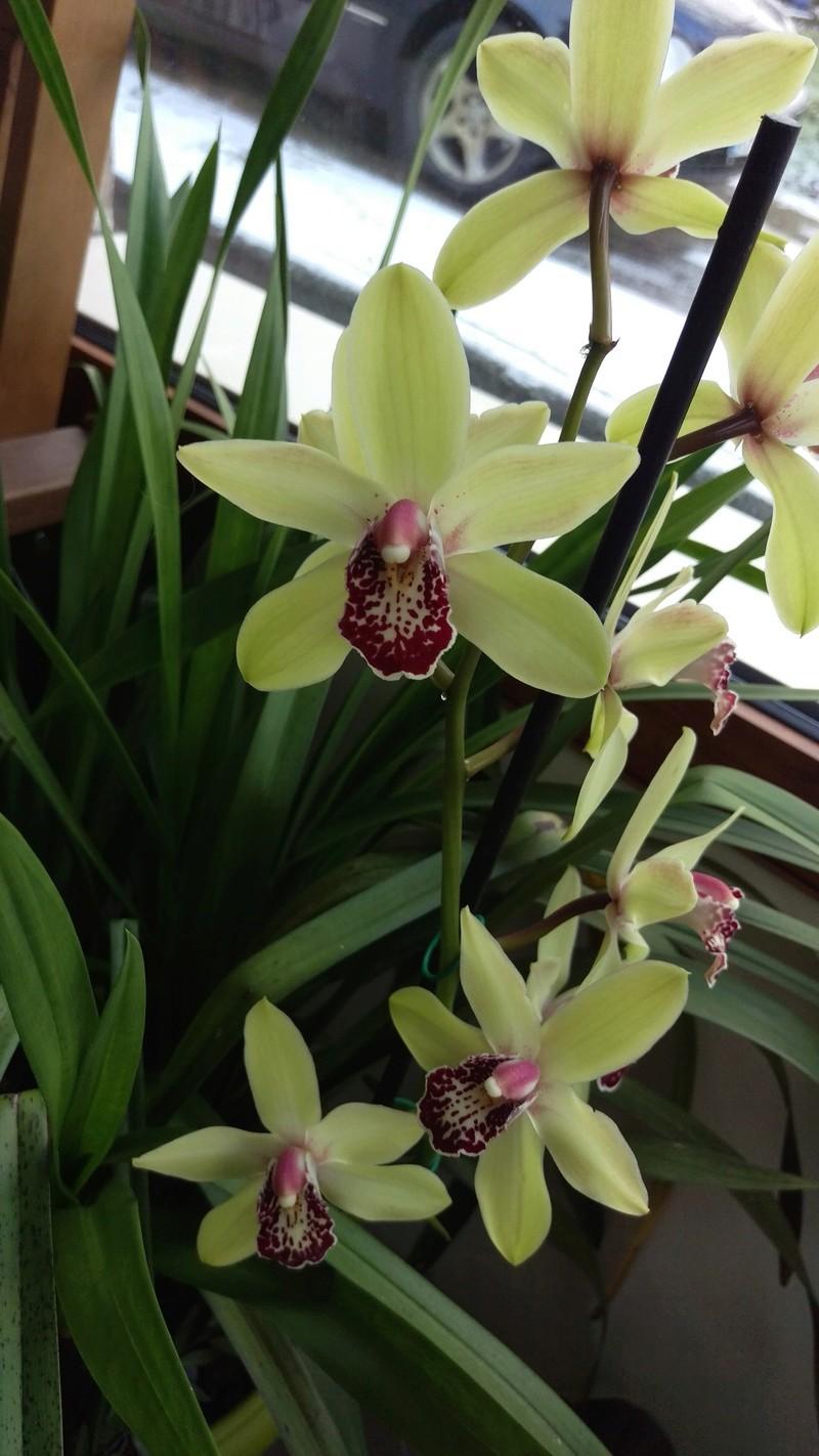 Cymbidium en fleurs Imag4711