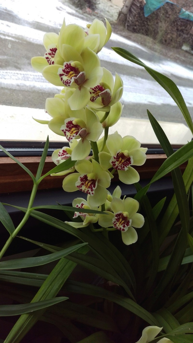 Cymbidium en fleurs Imag4712