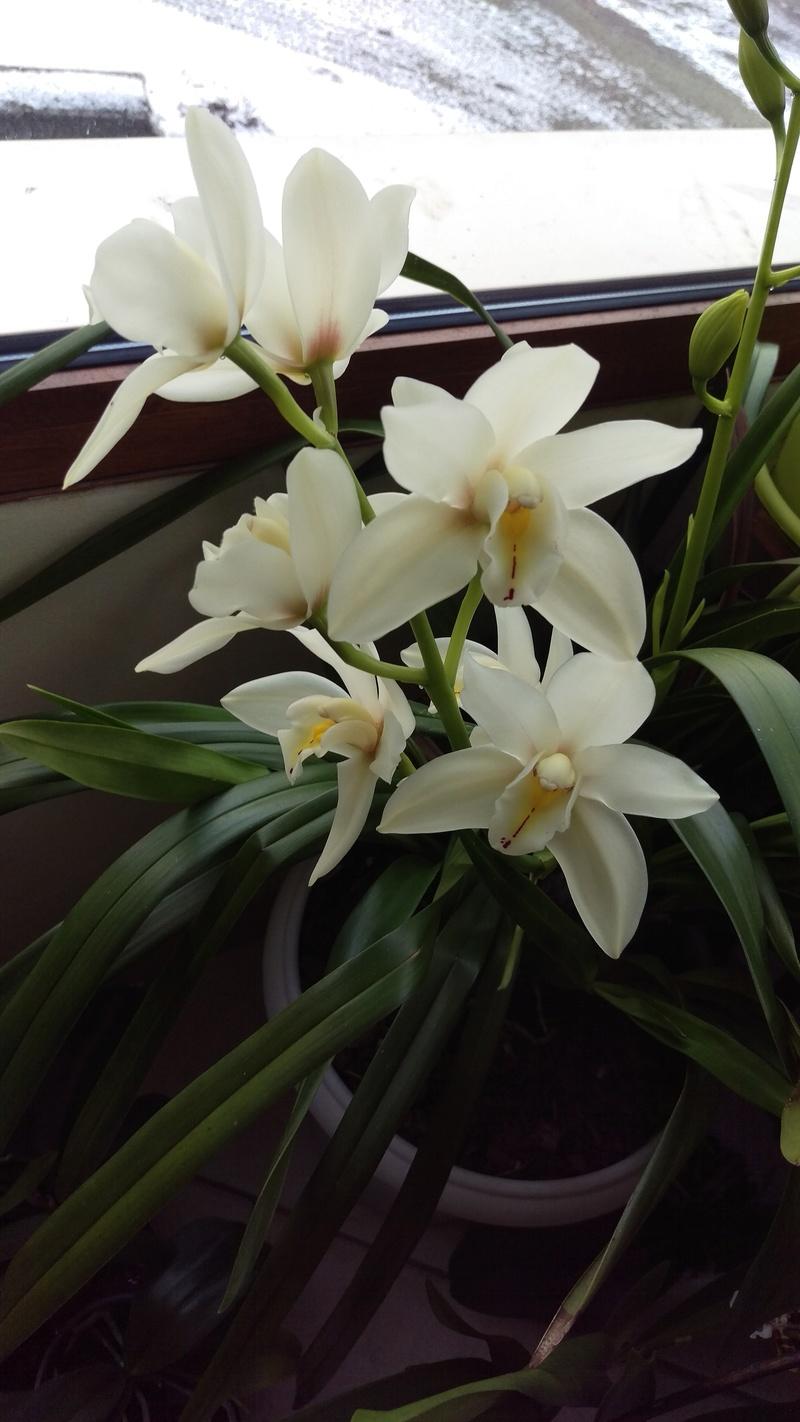 Cymbidium en fleurs Imag4713