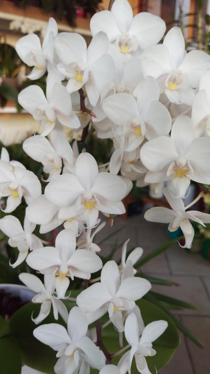 Phalaenopsis multiflora  - Page 2 Imag4912