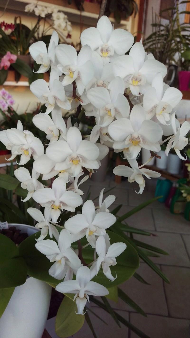 Phalaenopsis multiflora  - Page 2 Imag4913
