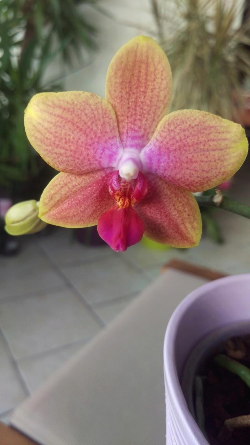 Phalaenopsis Magical Imag5112