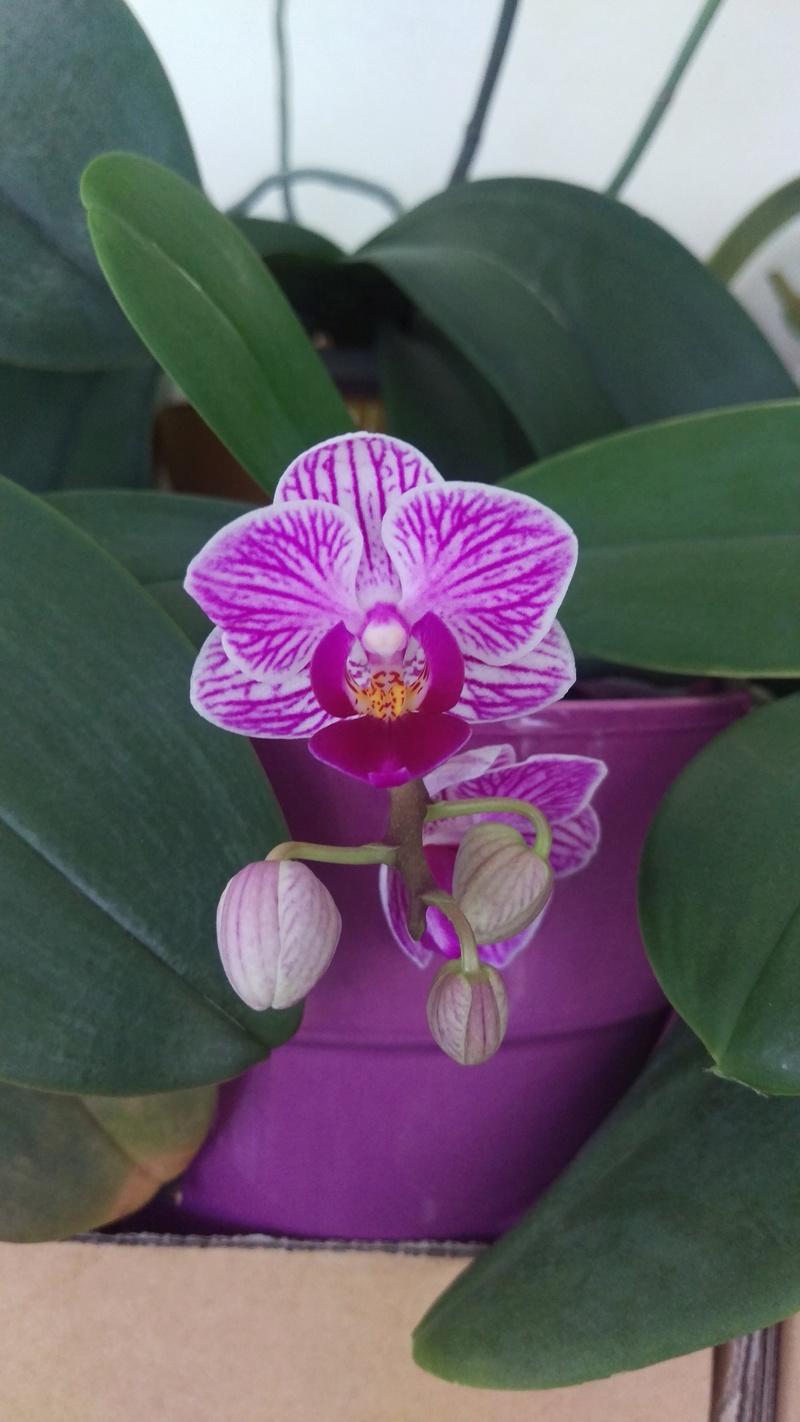 Phalaenopsis Sogo Vivien Imag5310