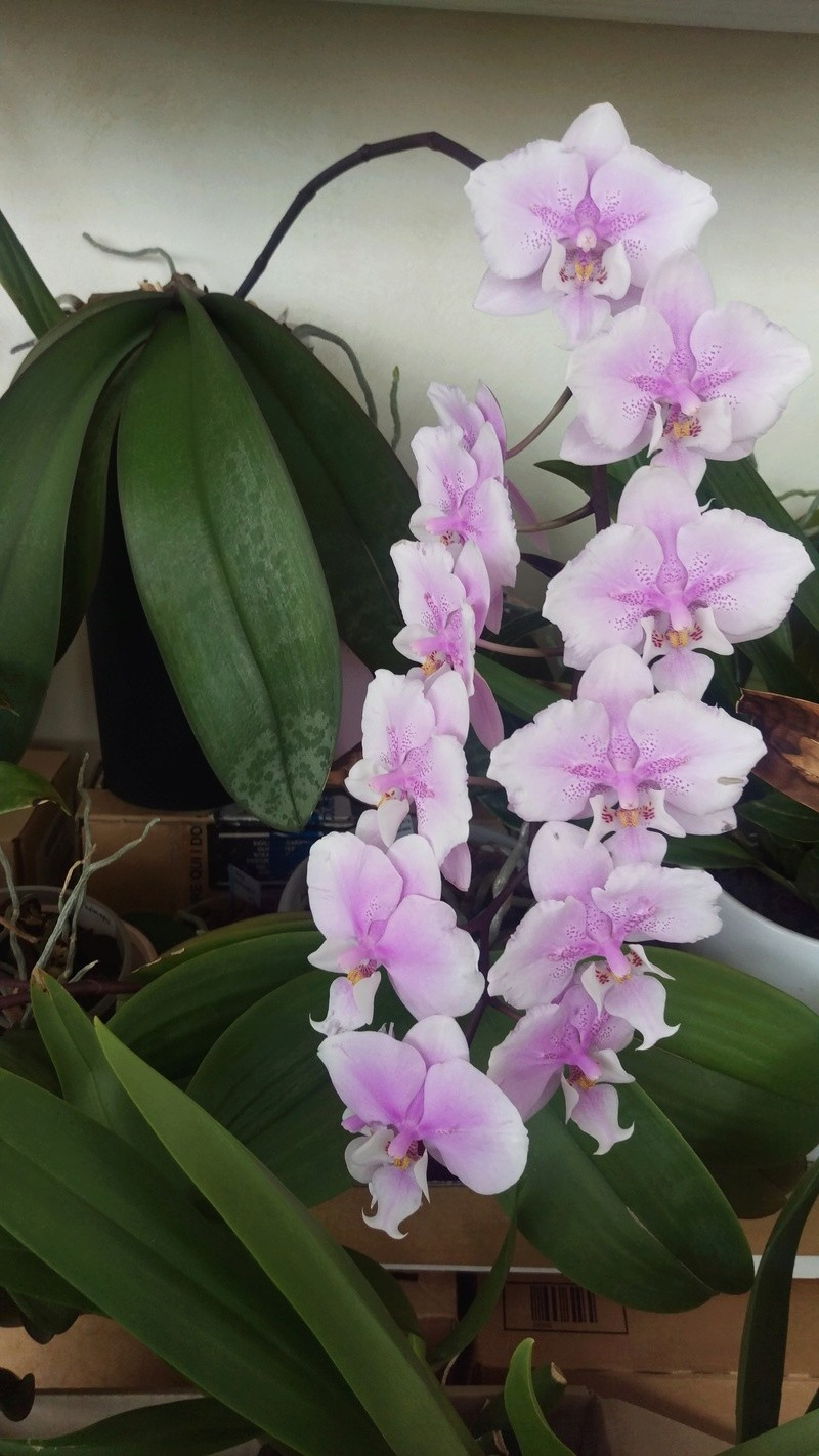 Phalaenopsis Saint andré Imag5313