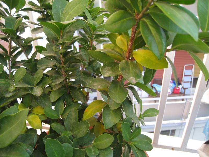 ginseng foglie gialle Img_3313