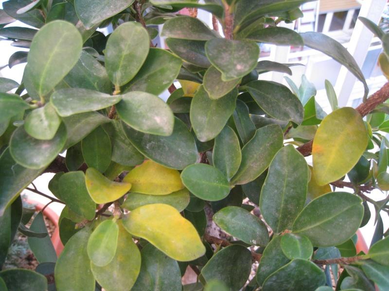 ginseng foglie gialle Img_3315