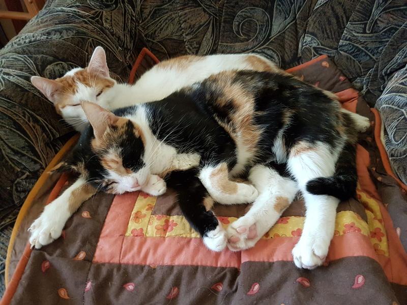MITSY ( ex SATINE), chaton femelle née en mars 2016 - Pascani - adoptée par Abysse (dpt92) - PARTIE REJOINDRE LES ETOILES le 3 juillet 2017 .... - Page 2 20170515