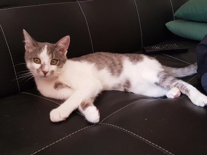 VOYOU, chaton mâle, né en Août/septembre 2016 (Pascani) - en FA chez Abysse (dpt92) - ADOPTE PAR VALERIE (92) 20170610