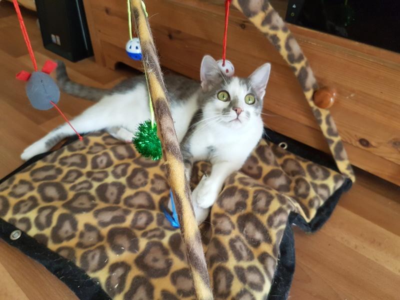 VOYOU, chaton mâle, né en Août/septembre 2016 (Pascani) - en FA chez Abysse (dpt92) - ADOPTE PAR VALERIE (92) 20170611
