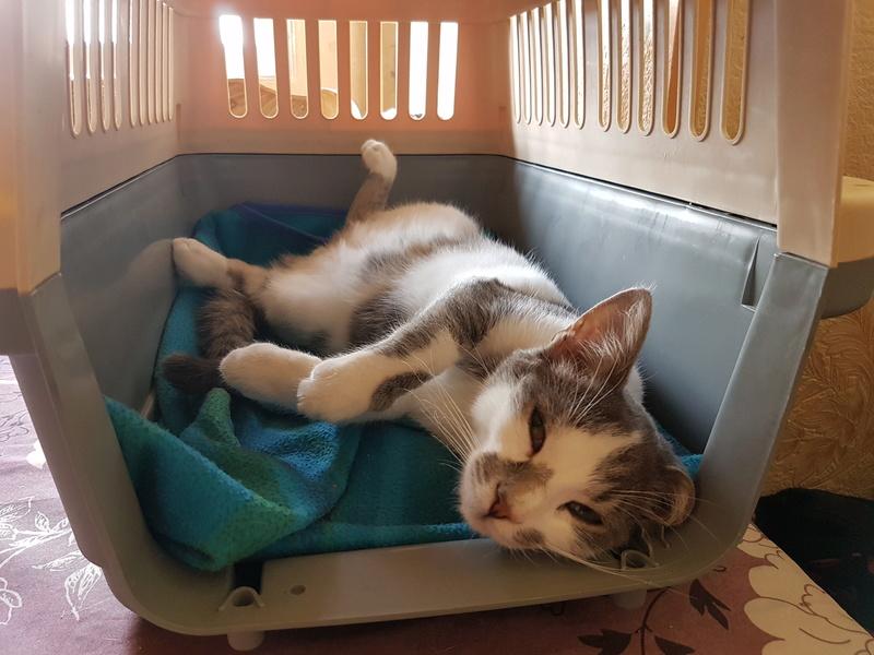 VOYOU, chaton mâle, né en Août/septembre 2016 (Pascani) - en FA chez Abysse (dpt92) - ADOPTE PAR VALERIE (92) 20170612