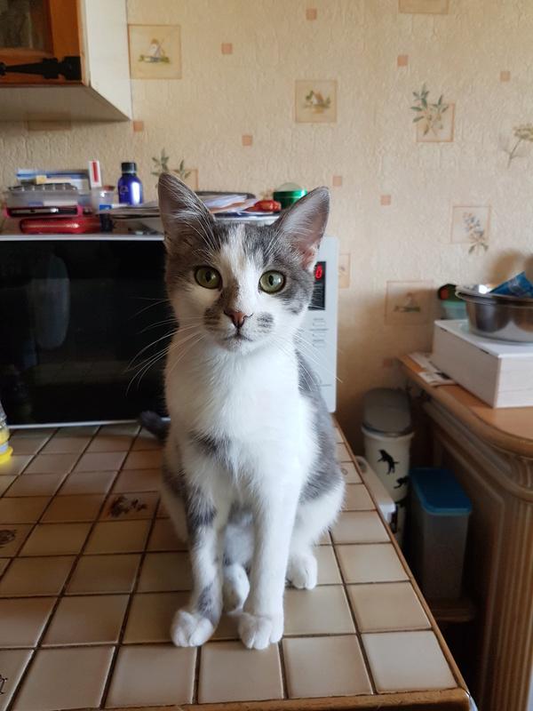 VOYOU, chaton mâle, né en Août/septembre 2016 (Pascani) - en FA chez Abysse (dpt92) - ADOPTE PAR VALERIE (92) 20170614