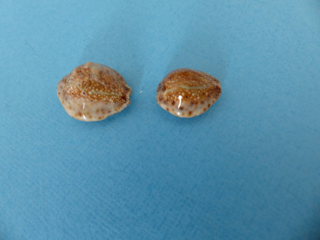 naria   ocellata   de  Jeffna  Sri Lanka P1150317