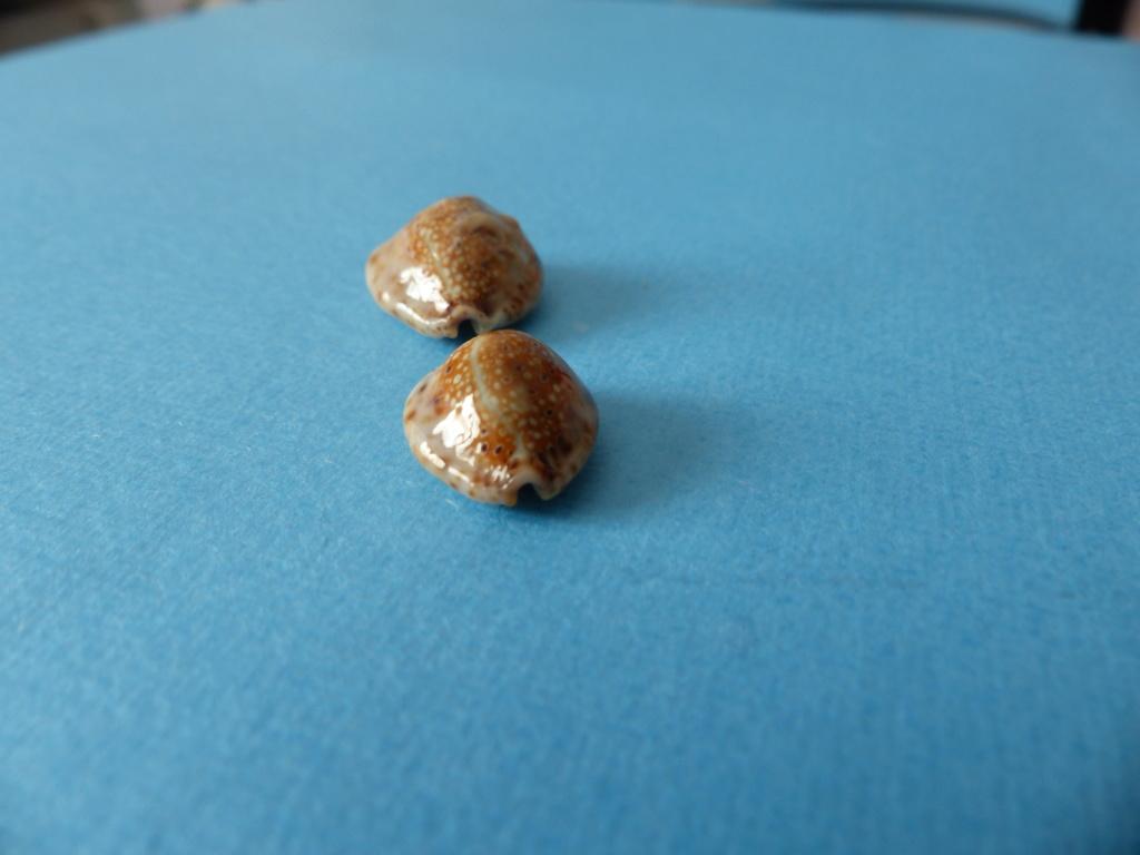 naria   ocellata   de  Jeffna  Sri Lanka P1150318