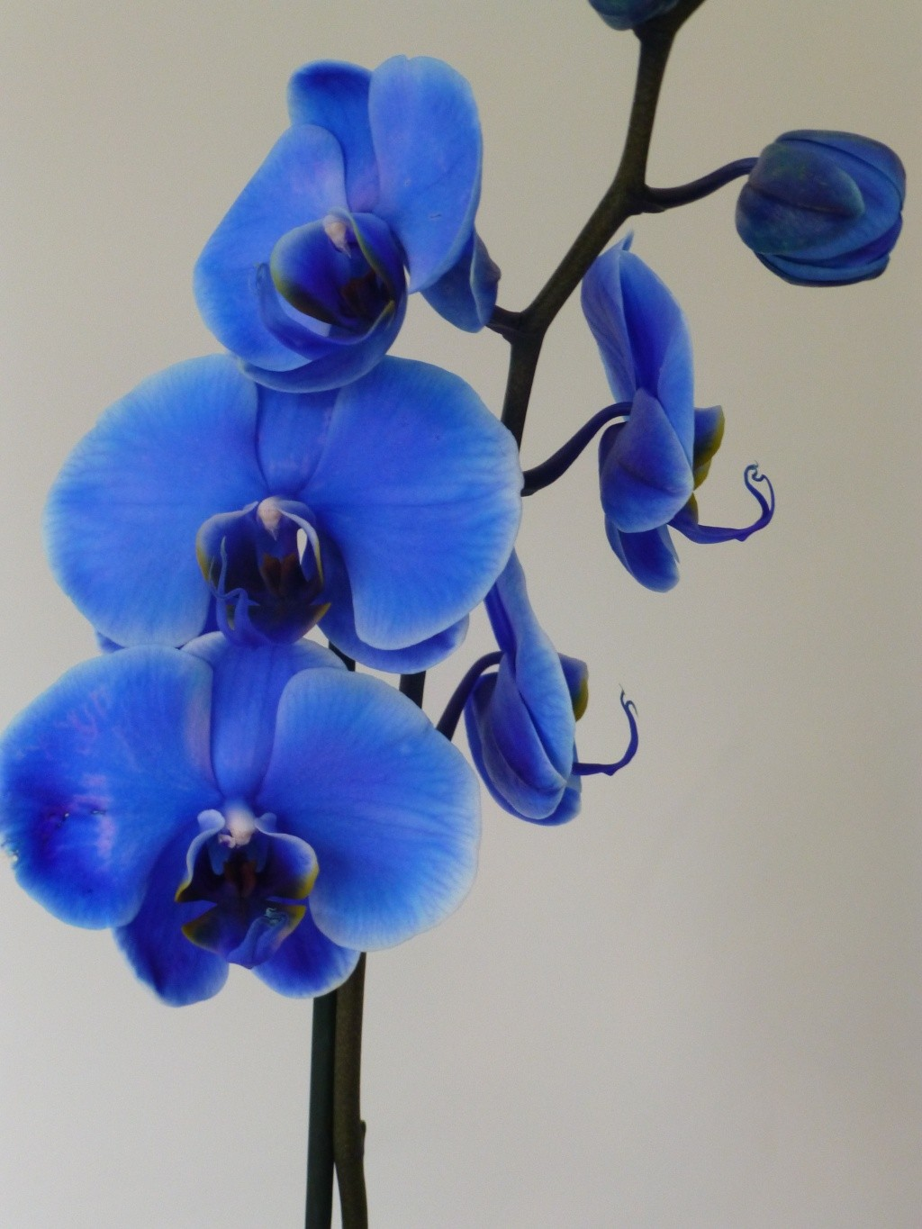 blue Orchid 02417