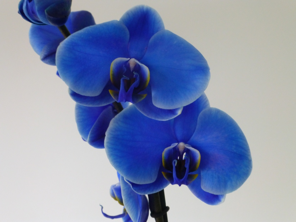 blue Orchid 03218