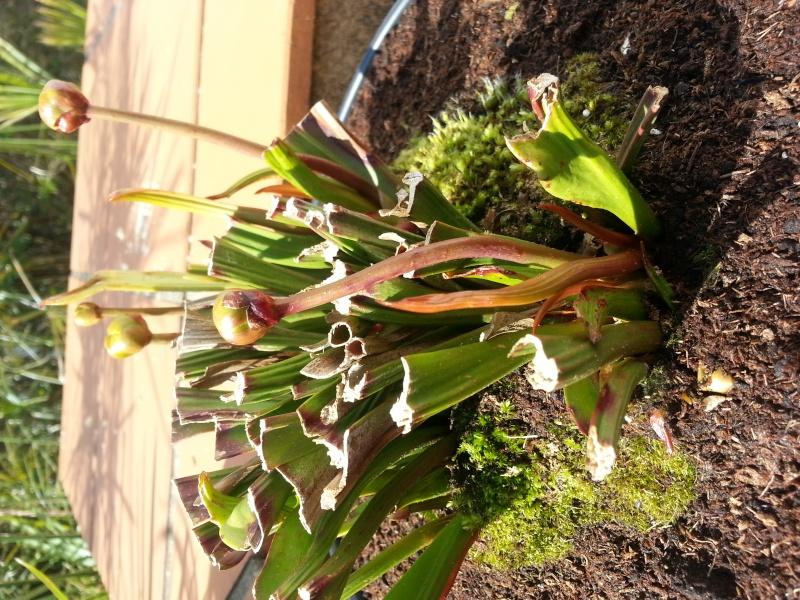 Début de pousse de mes plantes carnivores avant le printemps (3 de mes 9 pltes carnivores) 20140311