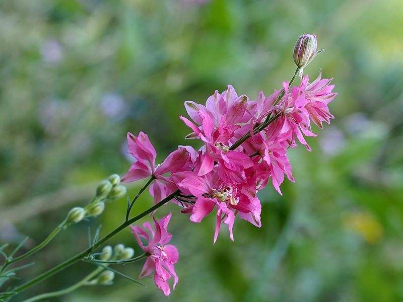 Dactylorhiza maculata  3005410