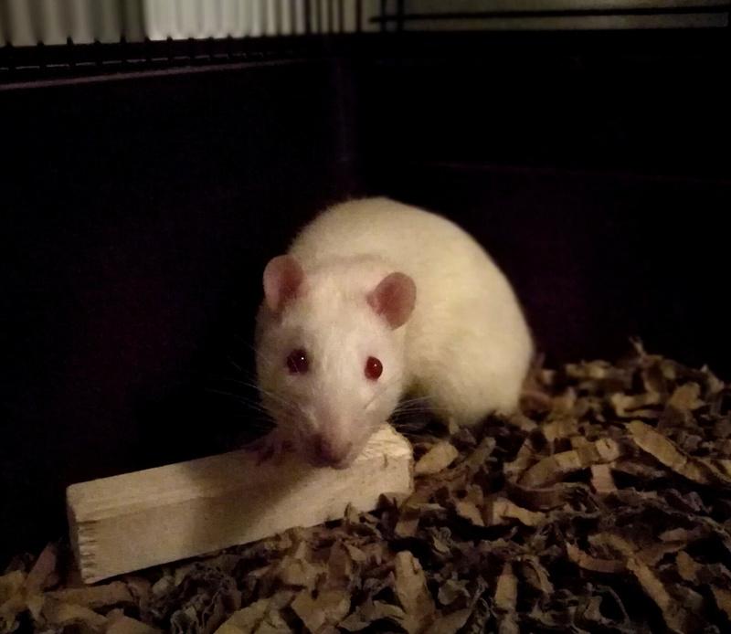 Sauvetage(s) rats de labo Bias10