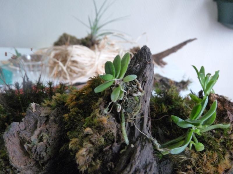 Terrarium de Mini-orchidées P1040816