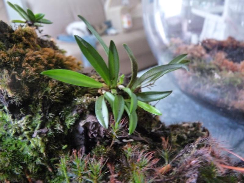Terrarium de Mini-orchidées P1040817
