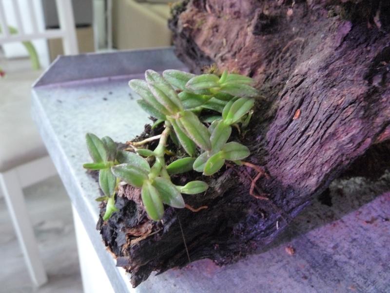 Terrarium de Mini-orchidées P1040819