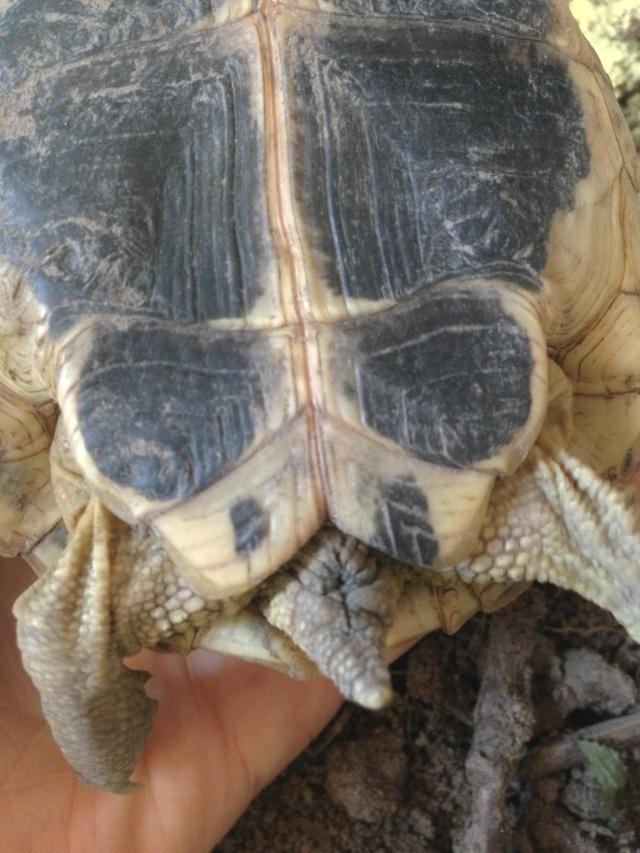 Mâle ou femelle hermann ? Img_2313