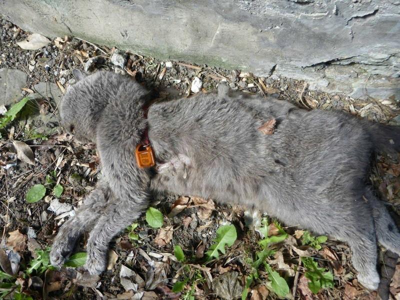 COLLIER/ GRAND DANGER MORTEL POUR LE CHAT 14927110