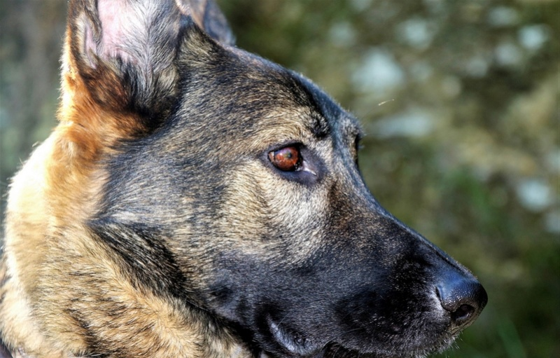 Ico, berger allemand et Misca, leonberg. - Page 7 Img_7919
