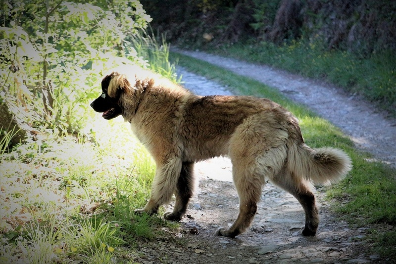 Ico, berger allemand et Misca, leonberg. - Page 7 Img_7921