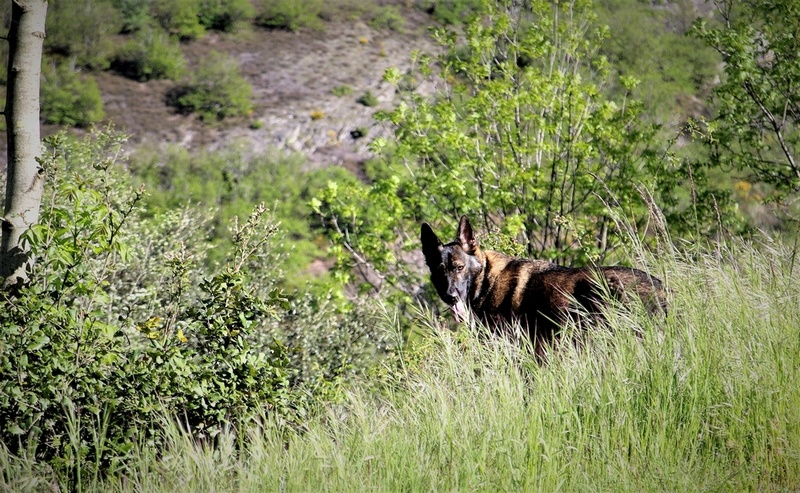 Ico, berger allemand et Misca, leonberg. - Page 7 Img_7922