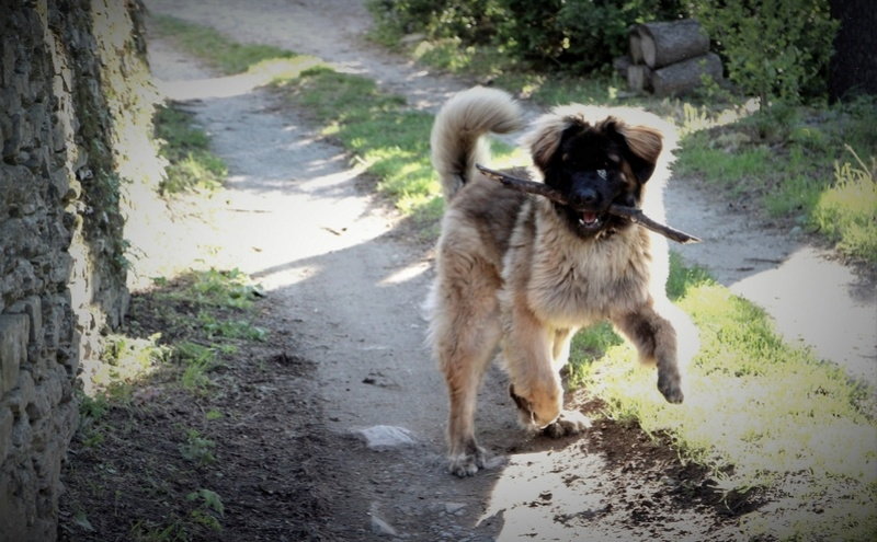 Ico, berger allemand et Misca, leonberg. - Page 9 Img_8413